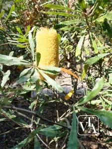 Banksia media
