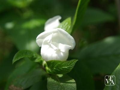 Bowkeria gerardiana
