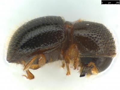 Xylosandrus compactus