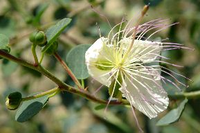 Capparis spinosa_6