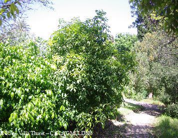 Osmanthus fragrans_2