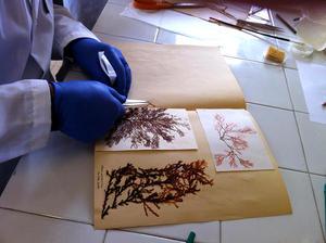 VTA_Collection Algues Thuret_ encours de restauration