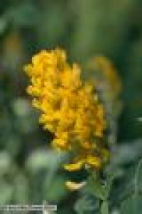 Argyrocytisus battandieri