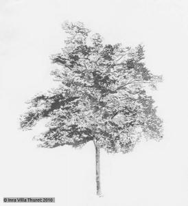 Kœlreuteria bipinnata