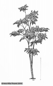 Radermachera sinica