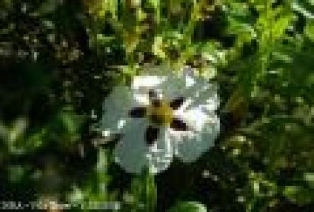 Cistus ladanifer